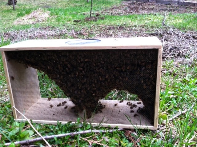 Honey bees inside a wooden box sitting on the grass.