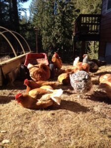Free Range Chickens enjoying the sun.
