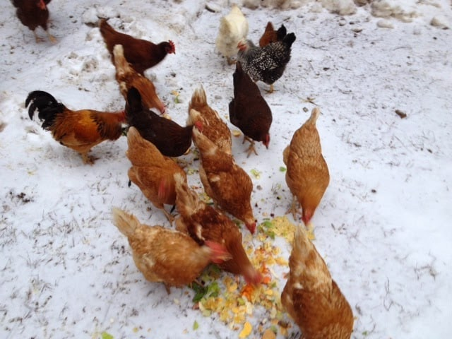 Chickens eating vegetable scraps.