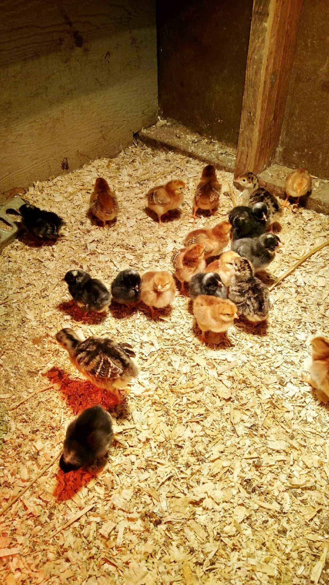 Baby chickens in a small coop.