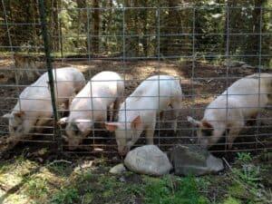 4 Little Piggies