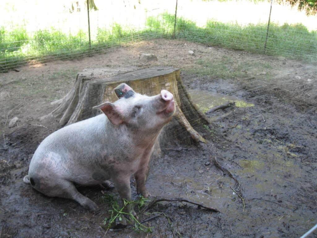 Pig Shower