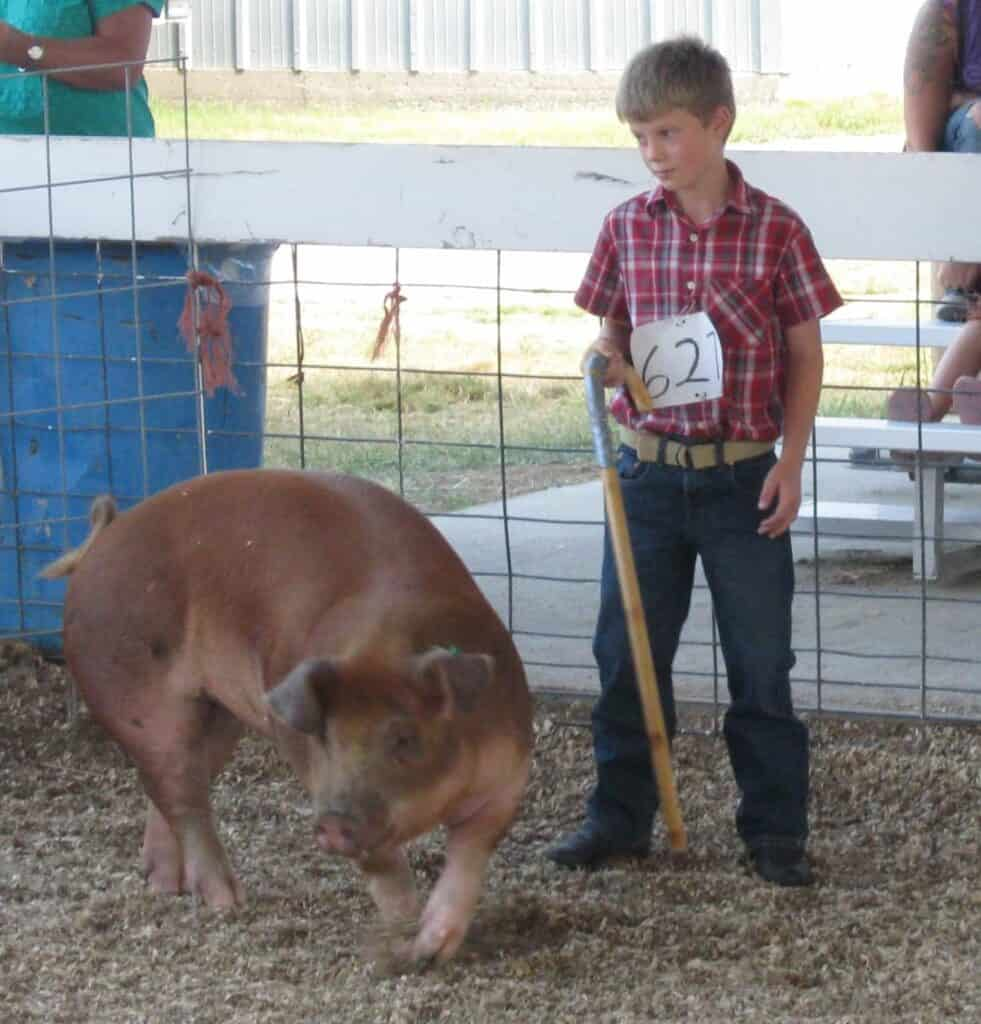 Showing pig at fair