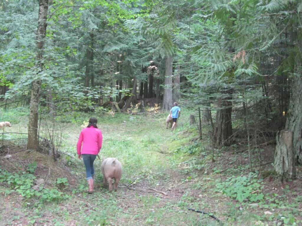 Walking Pigs