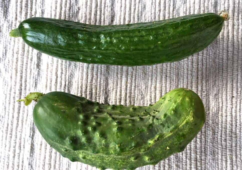 A pickling cucumber next to an eating cucumber.