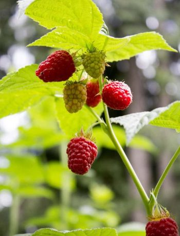 How to prune raspberries for a great crop next season.