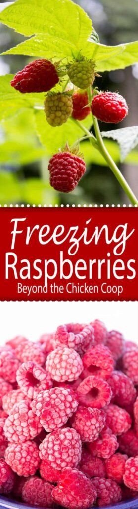 Extend the summer by freezing your own fresh picked raspberries. beyondthechickencoop.com