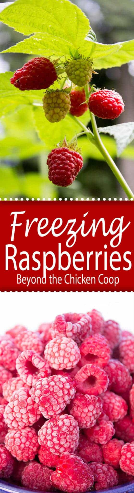 How to freeze fresh raspberries. If you grow your own raspberries you will want to freeze them to use all year long. #raspberries #howtofreezeraspberries
