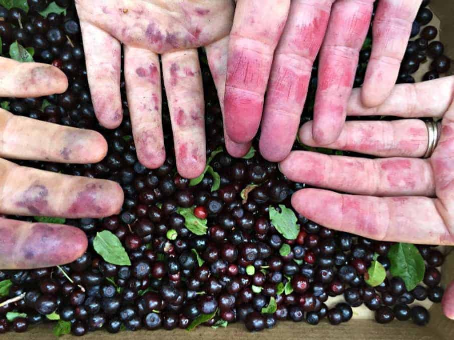 Hands stained purple and red from wild berries.