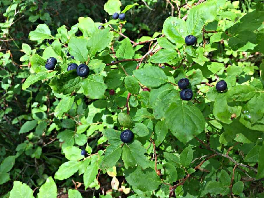 Wild Huckleberry bush filled with huckleberries.