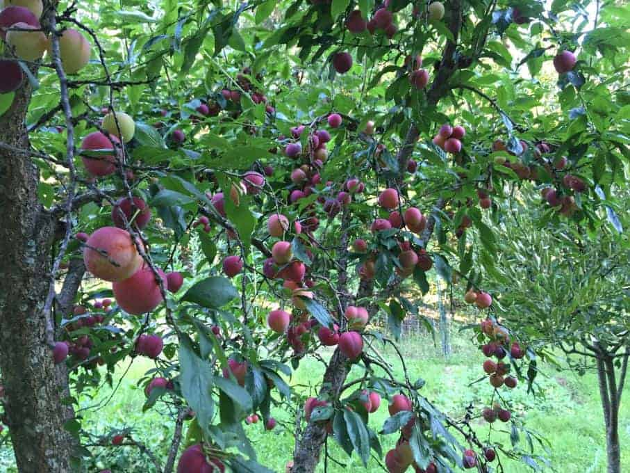 Plum Tree filled with ripe plums.