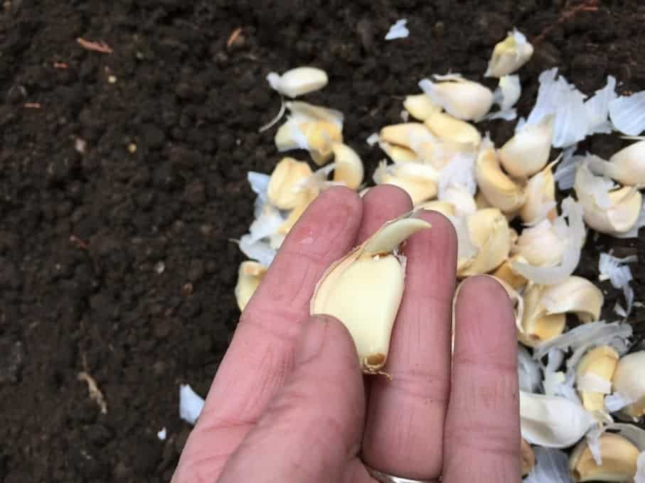 Tips on how to plant garlic