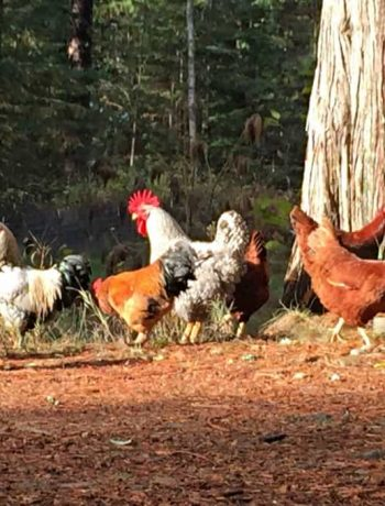 Happy Chickens enjoying a fall day!