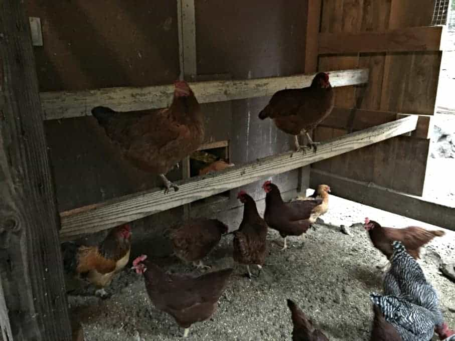 Inside the covered yard. Our chickens can come here to get out of the rain.