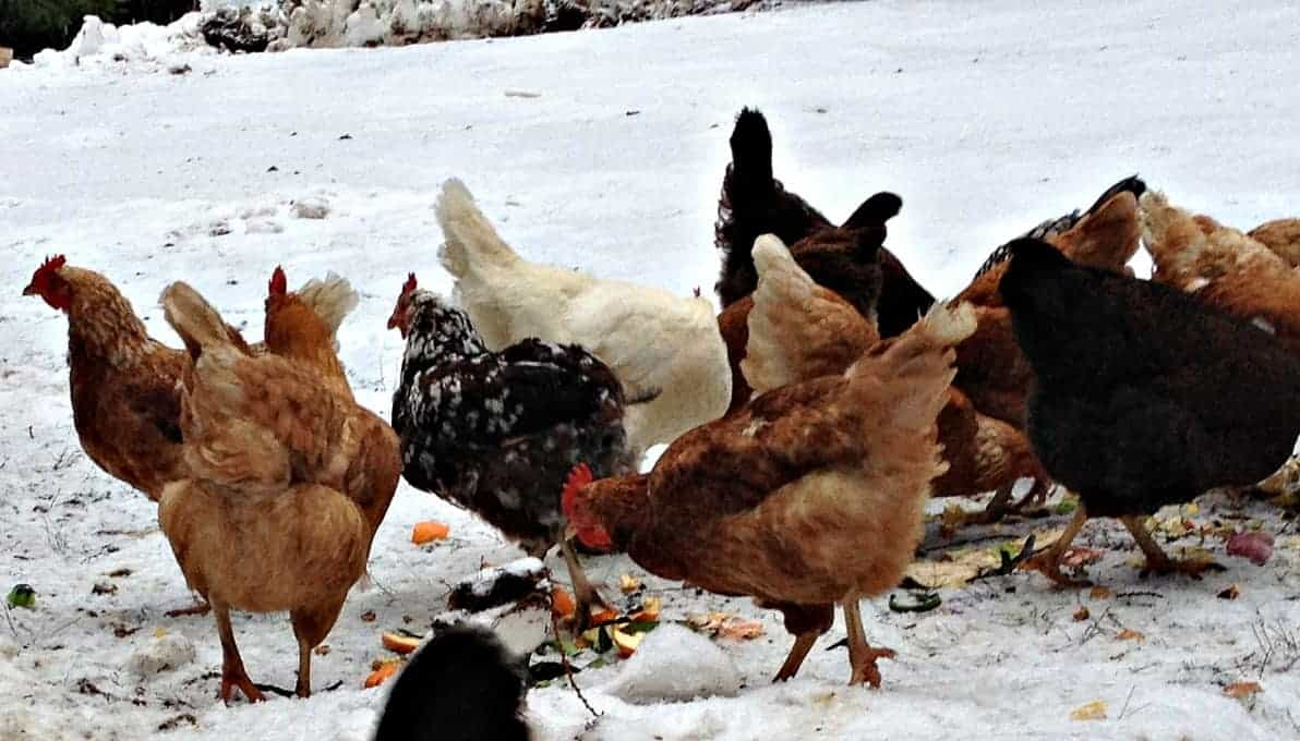 Backyard Chickens In Winter : Raising Chickens Through the Winter  Beyond The Chicken Coop