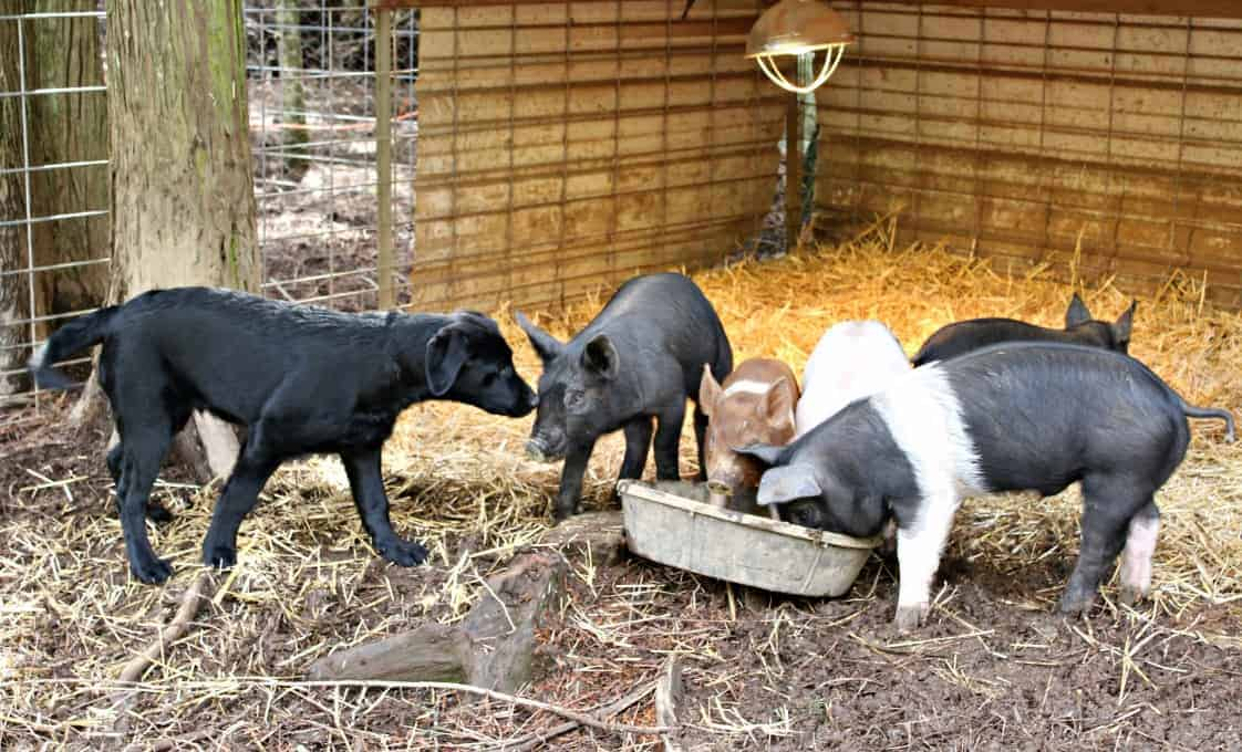 Drake and Pigs