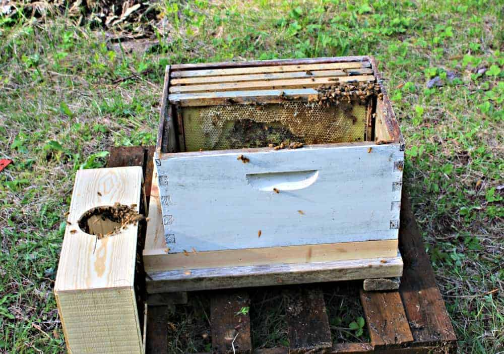 Honey Bees Starting a New Hive