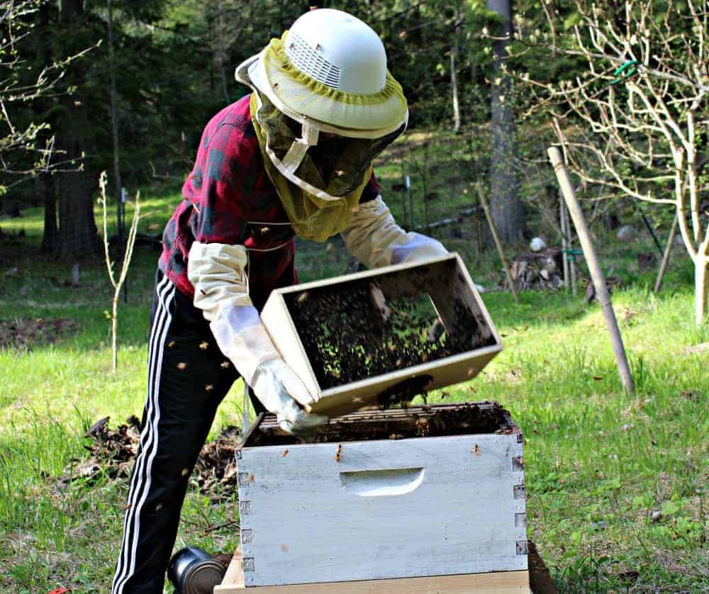 How to install a new package of honey bees to your bee hives. Beyond the Chicken Coop