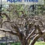 A pruned apple tree in an orchard.