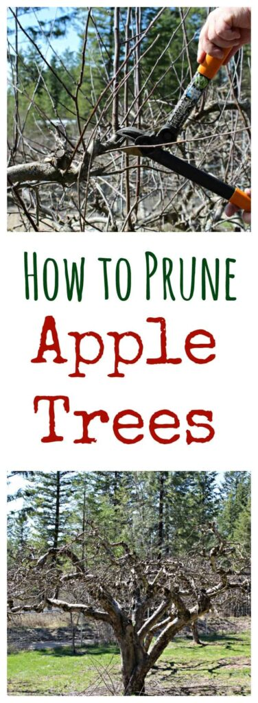 Tips and steps on how to prune apple trees. Pruning apple trees is a necessary task. Learn how to do it yourself! #appletrees #pruning