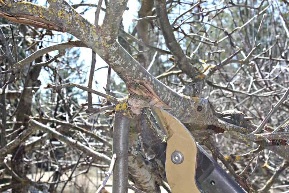 Pruning apple trees. Remove all damaged branches.