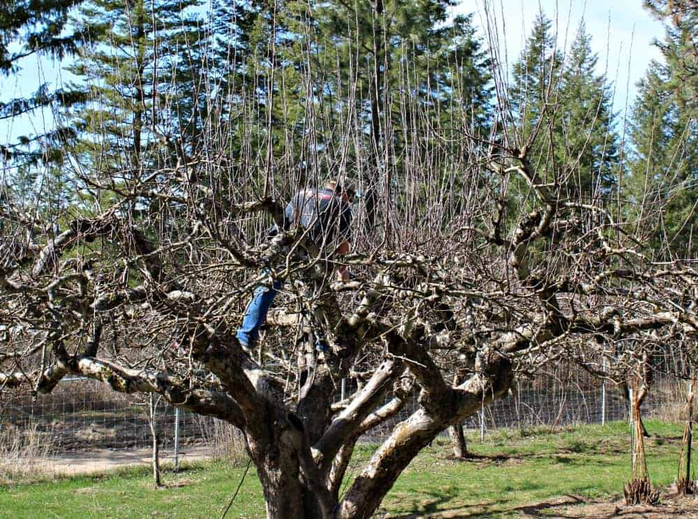 How to prune apple trees.