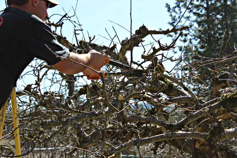 Pruning Apple Trees in the spring.