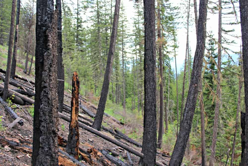 Burned forest area with green trees in the background.