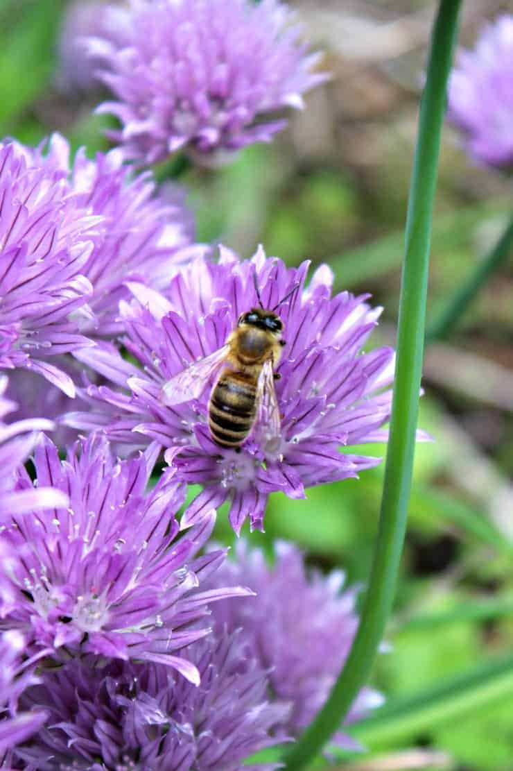 Honey Bees on Chive Blossoms