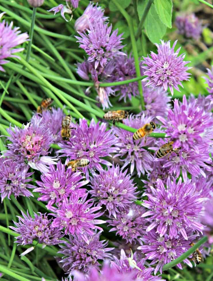 Honey Bees on Chives