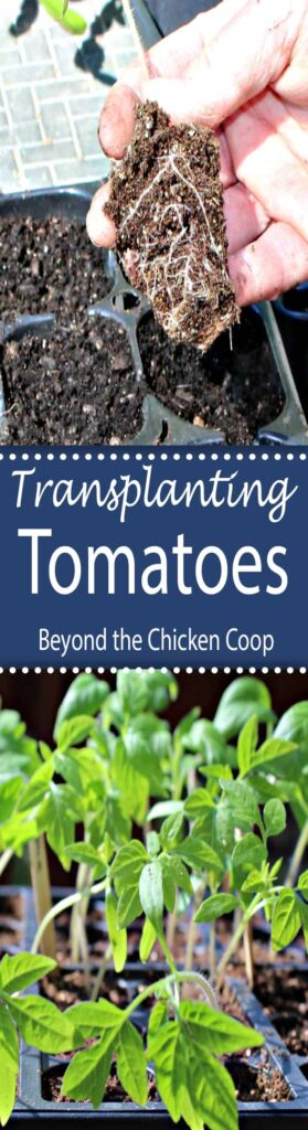 Tips on transplanting tomatoes.