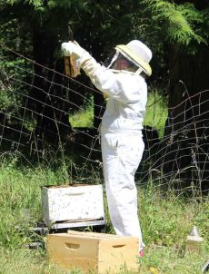 Honey Bees - Checking the Hives beyondthechickencoop.com