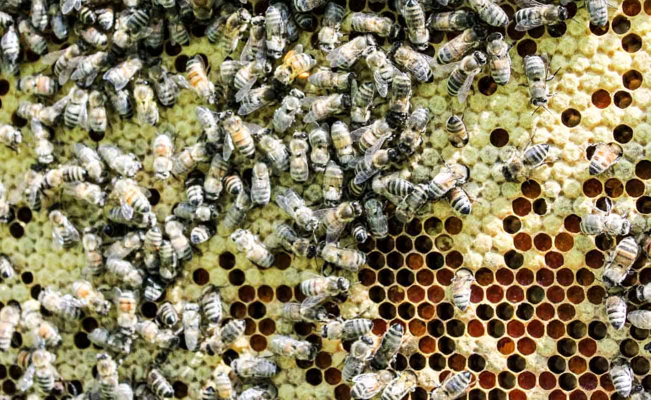 Honey Bees and Larva on a frame.