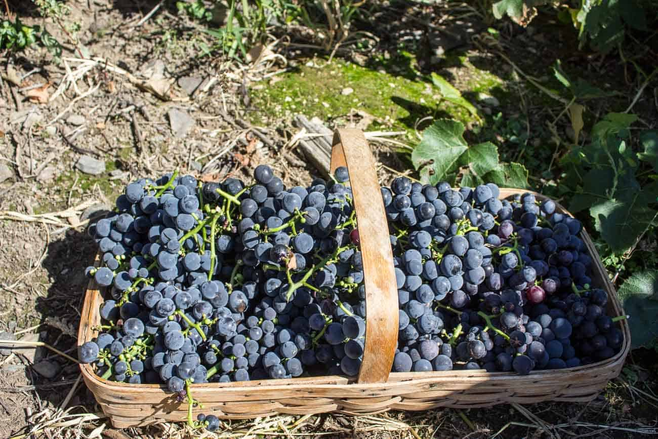 Concord Grapes piled in a basket.