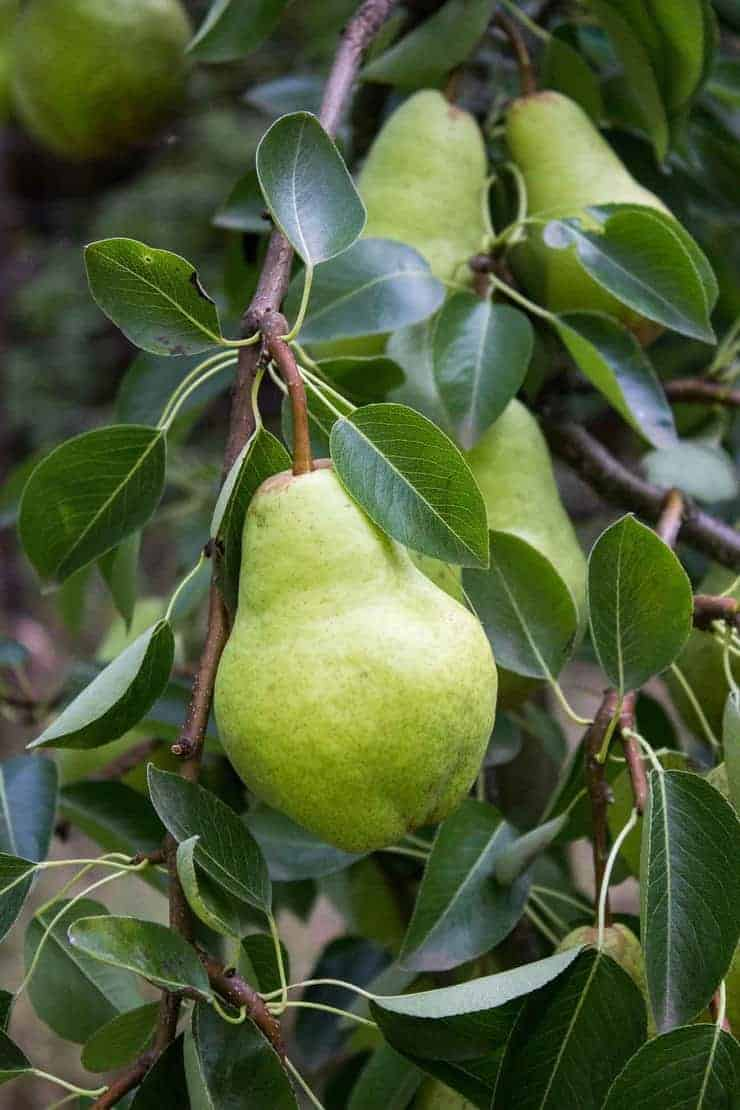 Fresh pears growing on a tree.