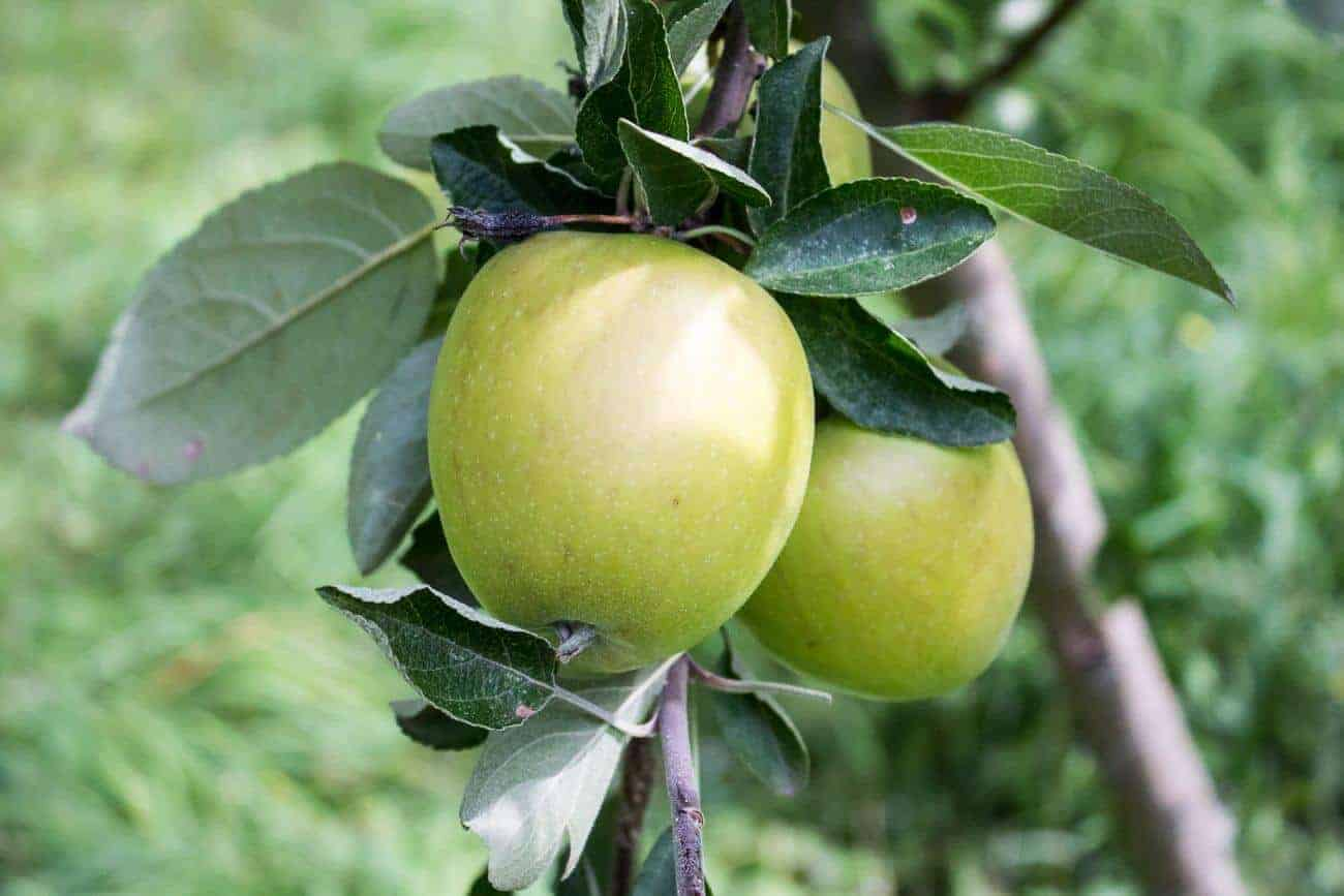 Green apples on a tree ready to be picked