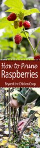 Tips and methods on how to prune raspberries.