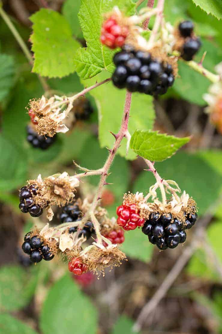 Wild blackberries used for homemade blackberry muffins.