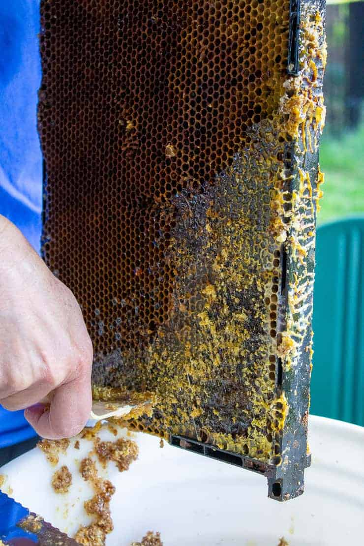 Using a uncapping fork to remove the wax coating on a frame of honey.