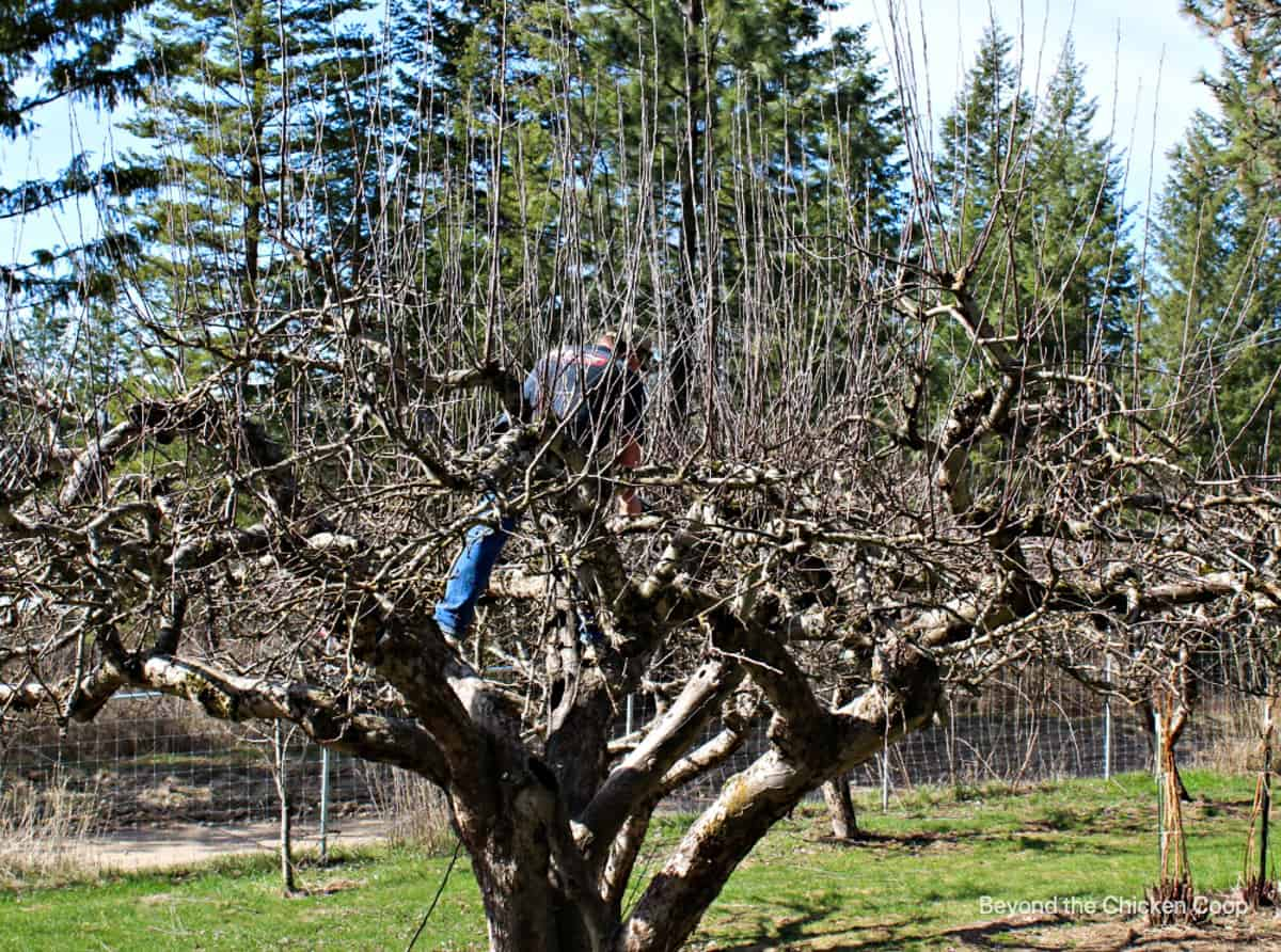A man standing in an apple tree with a pair of pruners.