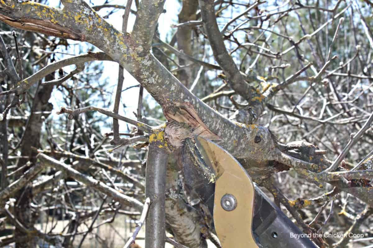 Pruners cutting a broken branch.