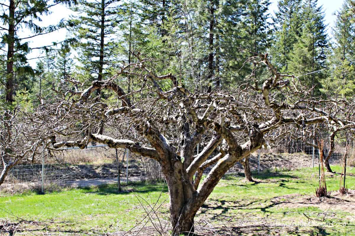 A newly pruned apple tree in an orchard.
