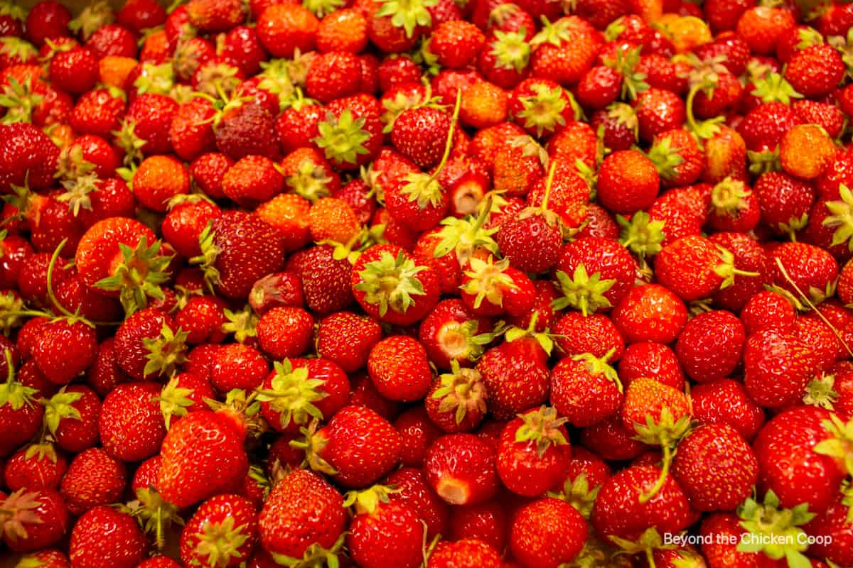 A pile of garden fresh strawberries.